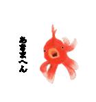 リアル金魚【京都弁】(個別スタンプ:18)