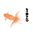 リアル金魚【京都弁】(個別スタンプ:22)