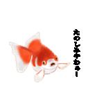 リアル金魚【京都弁】(個別スタンプ:36)