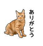 いろんな茶トラ猫♪(個別スタンプ:7)