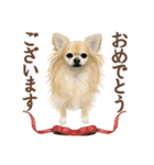いいね~!チワワ(敬語編)(個別スタンプ:01)