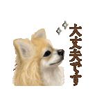 いいね~!チワワ(敬語編)(個別スタンプ:36)