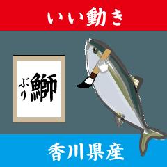 いい動きぶり(香川県産鰤12弾)